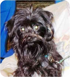 Maltese/Terrier (Unknown Type, Small) Mix Puppy for adoption in West Los Angeles, California - Marla