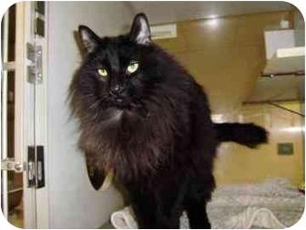 Domestic Longhair Cat for adoption in Walker, Michigan - Rajah
