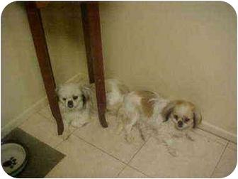 Pekingese Dog for adoption in Cathedral City, California - Bristol&Whitney