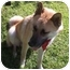 Photo 2 - Husky/Belgian Malinois Mix Dog for adoption in Sacramento, California - Rambo