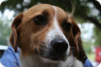 Corgi Mix Dog for adoption in Groton, Massachusetts - Gracie 2