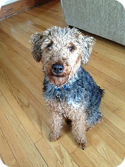Welsh Terrier Puppy for adoption in Council Bluffs, Iowa - Moe