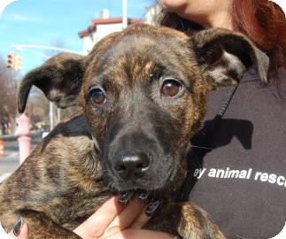 American Pit Bull Terrier Mix Puppy for adoption in Brooklyn, New York - Dori
