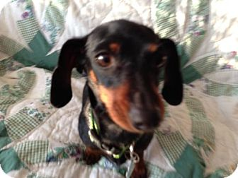 Dachshund Dog for adoption in Atascadero, California - Kim