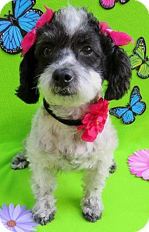 Poodle (Miniature)/Shih Tzu Mix Dog for adoption in Irvine, California - Birdy