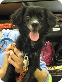 Cavalier King Charles Spaniel Mix Dog for adoption in Phoenix, Arizona - Indy