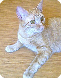 Domestic Shorthair Cat for adoption in Escondido, California - Honey