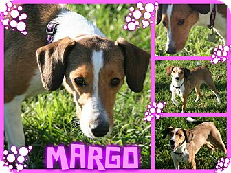 Collie/Beagle Mix Dog for adoption in Tampa, Florida - Margo