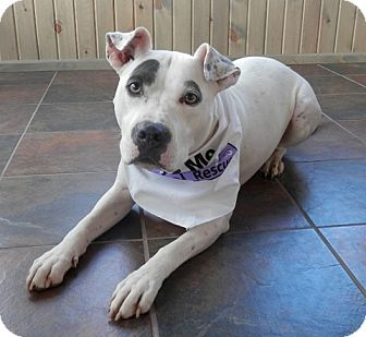 Pit Bull Terrier Mix Dog for adoption in Coldwater, Michigan - Sapphire - GRADUATE/FOSTER