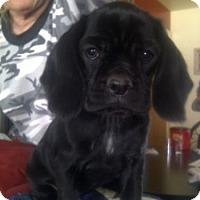 Adopt A Pet :: Eboni - Strasburg, CO