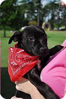 Labrador Retriever/Australian Shepherd Mix Puppy for adoption in Shelter Island, New York - Ben