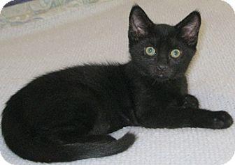 Domestic Shorthair Kitten for adoption in North Highlands, California - Mervin