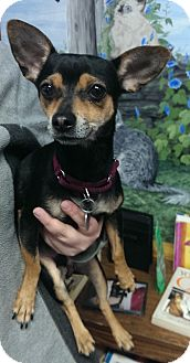 Chihuahua Mix Dog for adoption in Springfield, Vermont - Walter