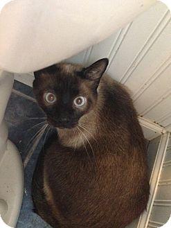 Domestic Shorthair Cat for adoption in Cincinnati, Ohio - CJ