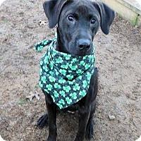 Adopt A Pet :: Kodiak - in Maine - kennebunkport, ME