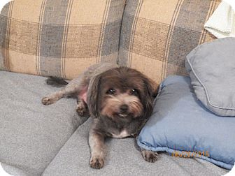 Shih Tzu/Poodle (Miniature) Mix Dog for adoption in Mary Esther, Florida - Sue Ling
