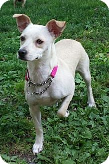 Chihuahua Mix Dog for adoption in Elmwood Park, New Jersey - Olive