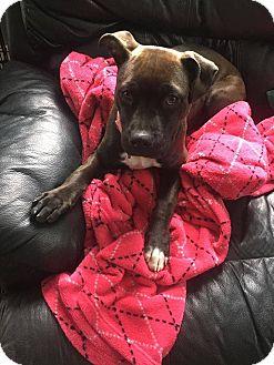 Pit Bull Terrier Mix Puppy for adoption in Acushnet, Massachusetts - Gracie