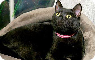Domestic Shorthair Cat for adoption in Seattle, Washington - Chanelle