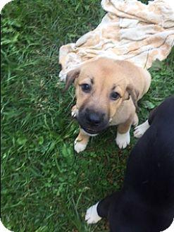 German Shepherd Dog Mix Puppy for adoption in waterbury, Connecticut - Ada