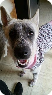 Shepherd (Unknown Type) Mix Dog for adoption in Detroit, Michigan - Mandi-Adopted!