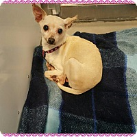 Adopt A Pet :: Midge - Loveland, CO