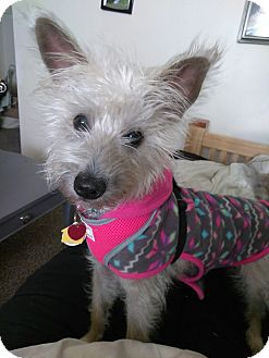 Cairn Terrier Mix Dog for adoption in Norman, Oklahoma - Lucy
