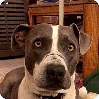 Pointer/Staffordshire Bull Terrier Mix Dog for adoption in San Juan Capistrano, California - Finn