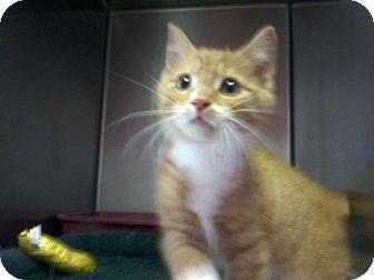 Domestic Shorthair Kitten for adoption in Arlington, Virginia - Elton John -Kitten Cutie