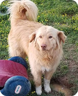 Great Pyrenees/Golden Retriever Mix Dog for adoption in East Hartford, Connecticut - Maverick in Ct