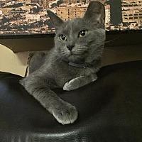 Domestic Shorthair Kitten for adoption in Amityville, New York - Miku