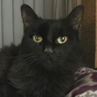 Domestic Longhair/Domestic Shorthair Mix Cat for adoption in West Kennebunk, Maine - Miss Mau