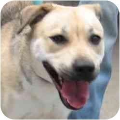 Labrador Retriever/German Shepherd Dog Mix Puppy for adoption in Berkeley, California - Sable