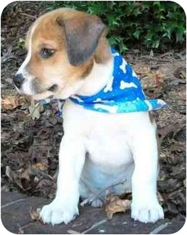 Beagle/Terrier (Unknown Type, Small) Mix Puppy for adoption in Thomasville, North Carolina - Devin
