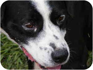 Border Collie Mix Dog for adoption in Everman, Texas - Bear