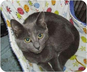 Russian Blue Kitten for adoption in Colmar, Pennsylvania - Andrea