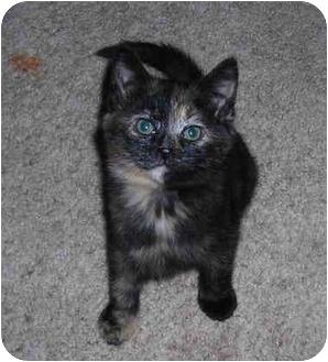 Domestic Mediumhair Kitten for adoption in Okotoks, Alberta - Noel