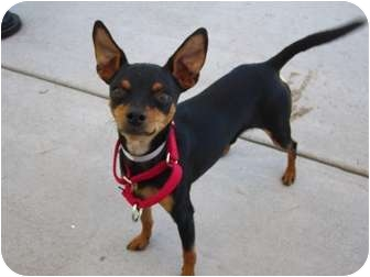 Miniature Pinscher Mix Dog for adoption in Sacramento, California - Cardigan