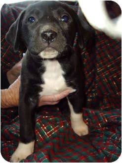 Labrador Retriever/American Pit Bull Terrier Mix Puppy for adoption in West Los Angeles, California - Sweetie