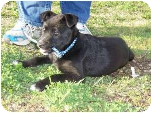 Shepherd (Unknown Type)/Labrador Retriever Mix Puppy for adoption in Westbrook, Connecticut - Lacey