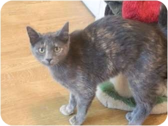 Domestic Shorthair Kitten for adoption in The Colony, Texas - Eliza