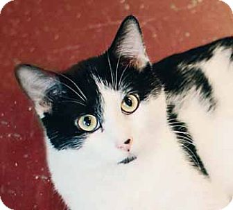 Domestic Shorthair Cat for adoption in Marseilles, Illinois - Dexter