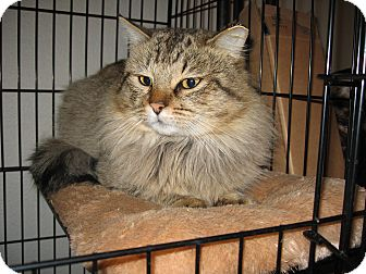 Maine Coon Cat for adoption in Scottsdale, Arizona - MC Fluffy