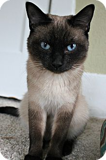 Siamese Cat for adoption in Grand Rapids, Michigan - Egypt