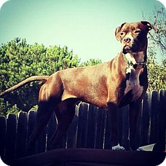 Boxer/American Pit Bull Terrier Mix Dog for adoption in San Diego, California - Kona