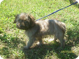 Shih Tzu/Poodle (Miniature) Mix Puppy for adoption in bridgeport, Connecticut - Dale