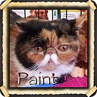 Adopt A Pet :: Paint - Beverly Hills, CA