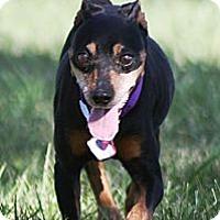 Adopt A Pet :: Amos - Topeka, KS