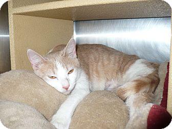 Domestic Shorthair Cat for adoption in Colmar, Pennsylvania - Cora