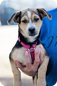 German Shepherd Dog/Beagle Mix Puppy for adoption in Sherman Oaks, California - Archie